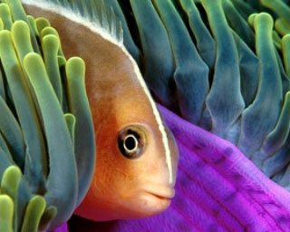 Thailand diving: anemonefish with magnificent anemone - photo courtesy of Marcel Widmer - www.Seasidepix.com