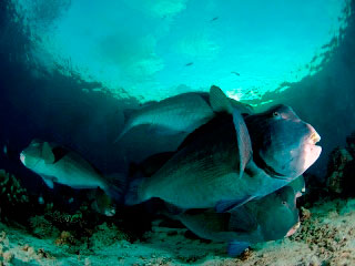 Koh Surin is the only place in Thailand where you can still find bumphead parrotfish - photo courtesy of ScubaZoo