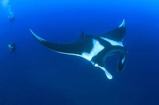 Manta ray at Hin Daeng