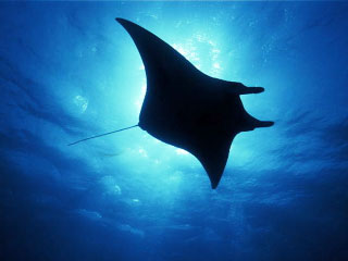 Diving at Koh Bon with manta rays - Dive The World Thailand