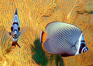 Red-tailed butterflyfish can be seen at Koh Tarutao - photo courtesy of Marcel Widmer - www.Seasidepix.com
