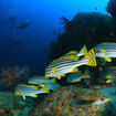 Oriental sweetlips at Koh Tachai, Thailand
