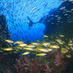 Yellow snapper surround the Richelieu Rock pinnacle