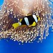 A Clark's anemonefish in a blue magnificent anemone, Thailand
