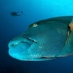 Dive with Napoleon wrasse at the Surin Islands, Thailand