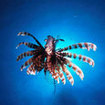 Lionfish in Khao Lak
