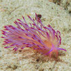 A spectacular nudibranch at Tarutao National Marine Park