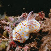 A delightful nudibranch at Koh Bon