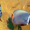 Red-tailed butterflyfish can be seen at Koh Tarutao