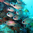 Soldierfish congregate in the depths of Hin Daeng