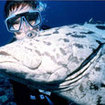 A potato grouper investigates a scuba diver at Burma Banks