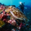 Dive with cuttlefish on liveaboard in Thailand