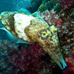 A cuttlefish explores the reef at Surin for food