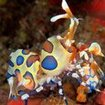 Harlequin shrimp can be found at Thailand's best dive spots