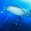 A whale shark with scuba divers at Chumphon Pinnacle, Koh Tao