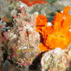 Two frogfish at Richelieu Rock