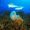 Golden trevally inspect a jellyfish at Koh Ha