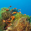 Anemonefish are found at most of Phuket's dive sites