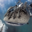 Dive with whale sharks at Richelieu Rock, Thailand