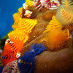 Colourful Christmas tree worms are found at Koh Phi Phi