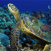 Turtles are regularly seen by divers at Phi Phi Island