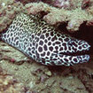 A honeycomb moray eel at the Bunsoong Wreck in Khao Lak