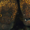 Yellowmargin moray eels at Koh Rok