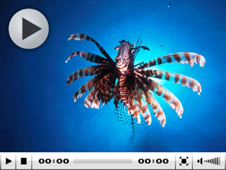 Indian Lionfish - photo courtesy of Mike Greenfelder
