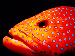 Andaman Sea coral trout - Dive The World Thailand