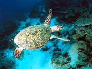 Hawksbill Turtle at Koh Rok with Dive The World Thailand