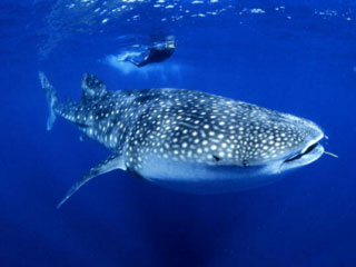 Diving with whale sharks at Richelieu Rock with Dive The World Thailand