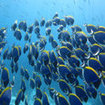 A school of powder blue surgeonfish in the Similan Islands