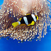 An anemonefish in blue magnificent anemone, Koh Rok