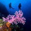Divers swim by a purple dendronepthya soft coral at Hin Muang