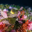 The shallows at Hin Muang are covered in anemones