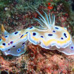 Magically coloured nudibranchs can be found at Thailand's Hin Muang