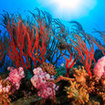Sea fan and soft corals at Koh Samui, Thailand