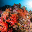 The red soft corals that give Hin Daeng its name