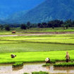 Rice farm in Suphan Buri, Thailand