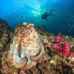 Reef octopus are encountered by Phuket scuba divers