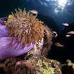 Beautiful magnificent anemones proliferate at the dive sites of Samui