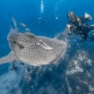 Dive with whale sharks in Koh Tao