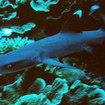 Whitetip reef sharks are found at some of the Krabi dive sites