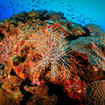 A crown of thorns starfish explores the reef in Koh Tao