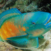 A parrotfish inside its cocoon, Phi Phi Islands