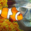 Clownfish can be found in anemones in the shallows of Samui