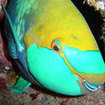 Greenthroat parrotfish, Koh Tao