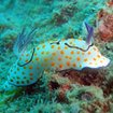 Some colourful nudibranchs can be found in Thailand