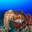 Cuttlefish can be found at Hin Daeng in the Andaman Sea