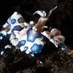 A harlequin shrimp at Surin, Thailand